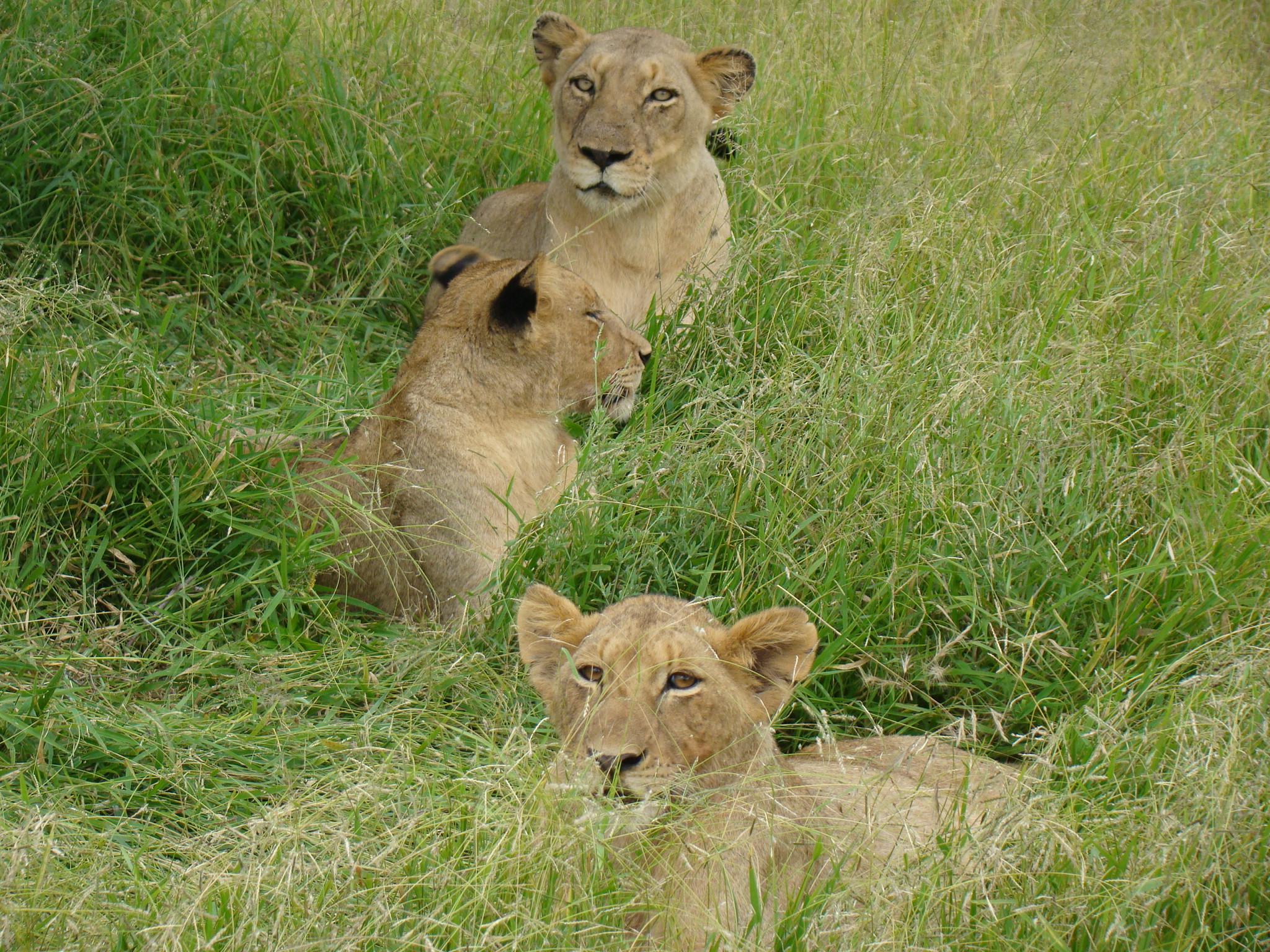 Leões na África do Sul