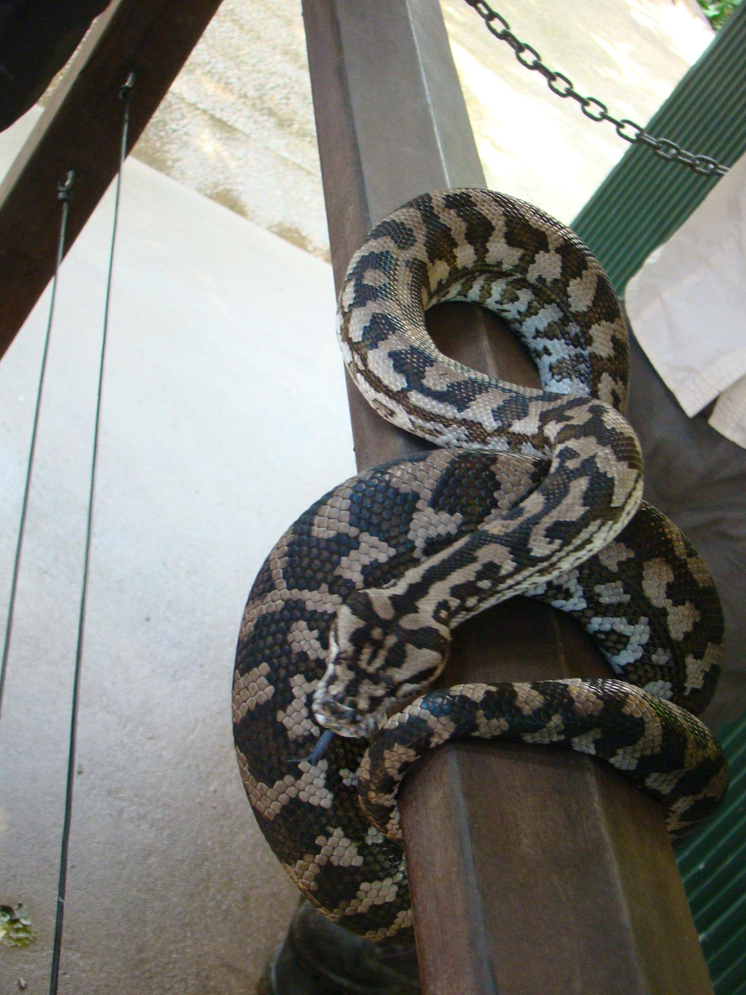Cobras - Austrália