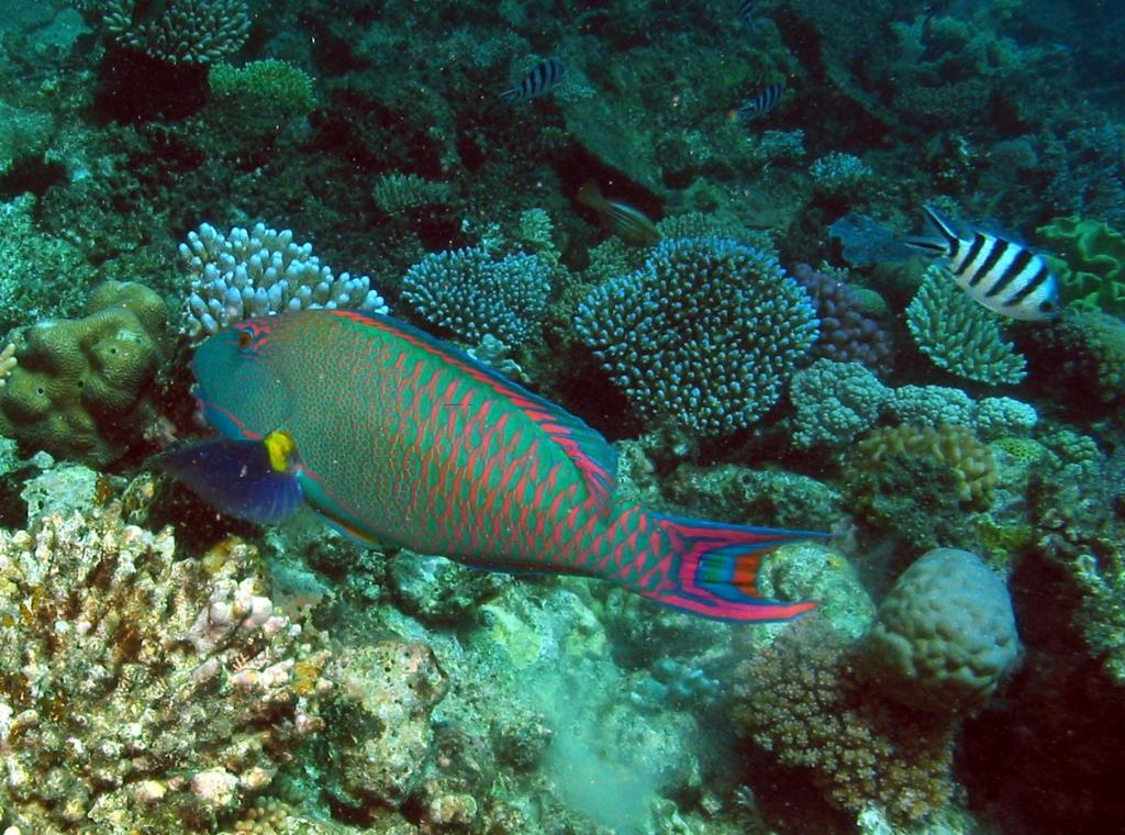 Peixe Papagaio Bi color