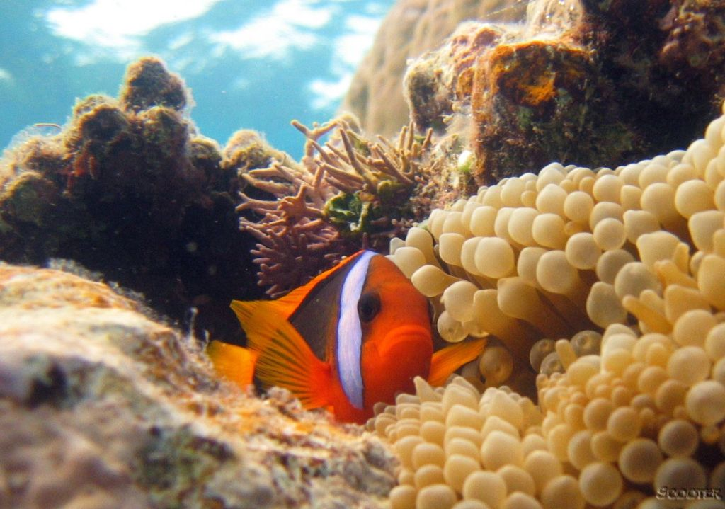 Peixe de Anemona Preto