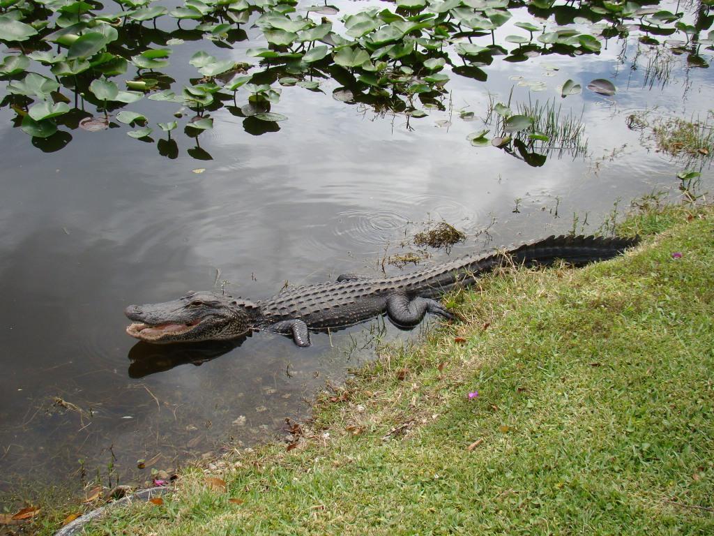 Pata de Jacaré nos Everglades