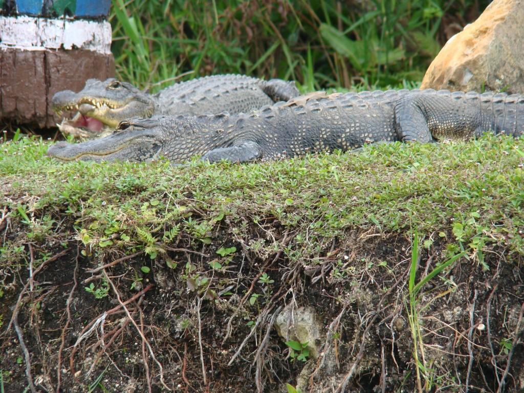 Jacarée no Everglades