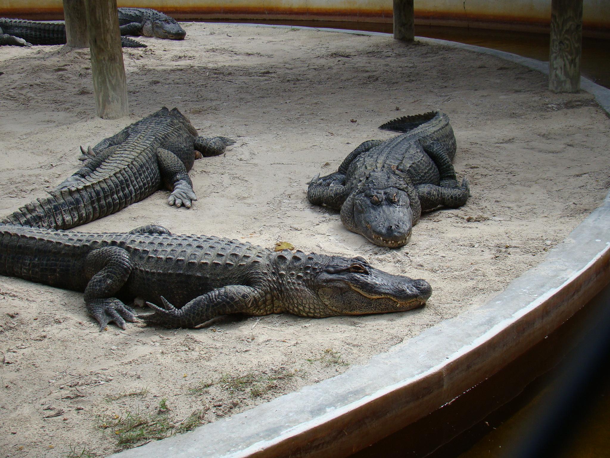 Show de jacarés do Everglades