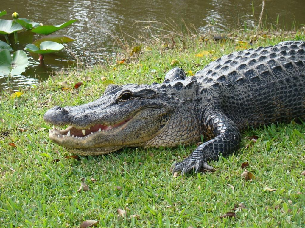 Jacaré no Everglades