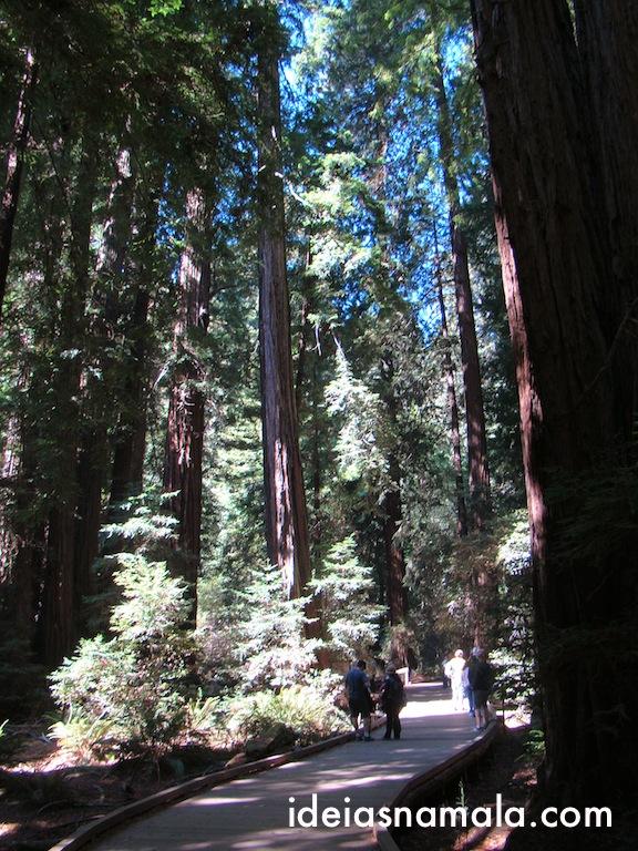 Muitas Sequóias do tipo Red Woods em Muir Woods