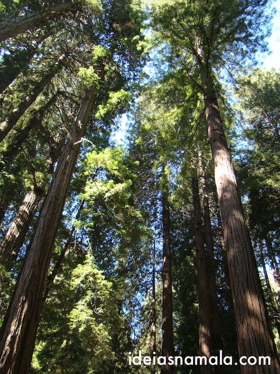 Várias Sequóias do tipo Red Woods em Muir Woods