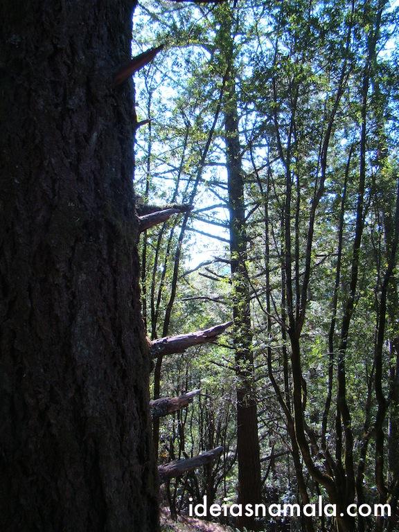 Arvores no Muir Woods