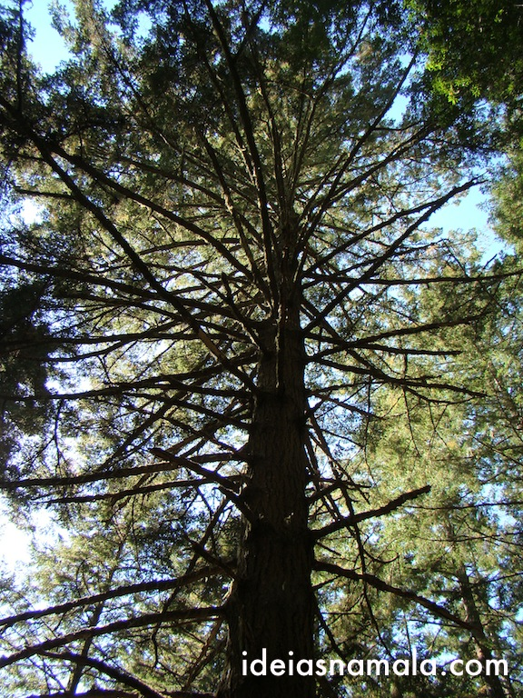 Arvore com muitos galhos - Muir Woods