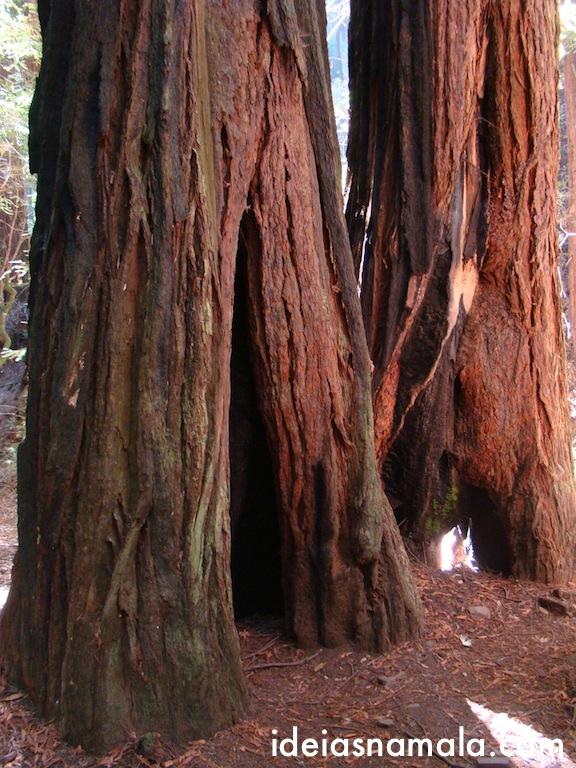 Tronco com buraco - Sequóias do tipo Red Woods em Muir Woods