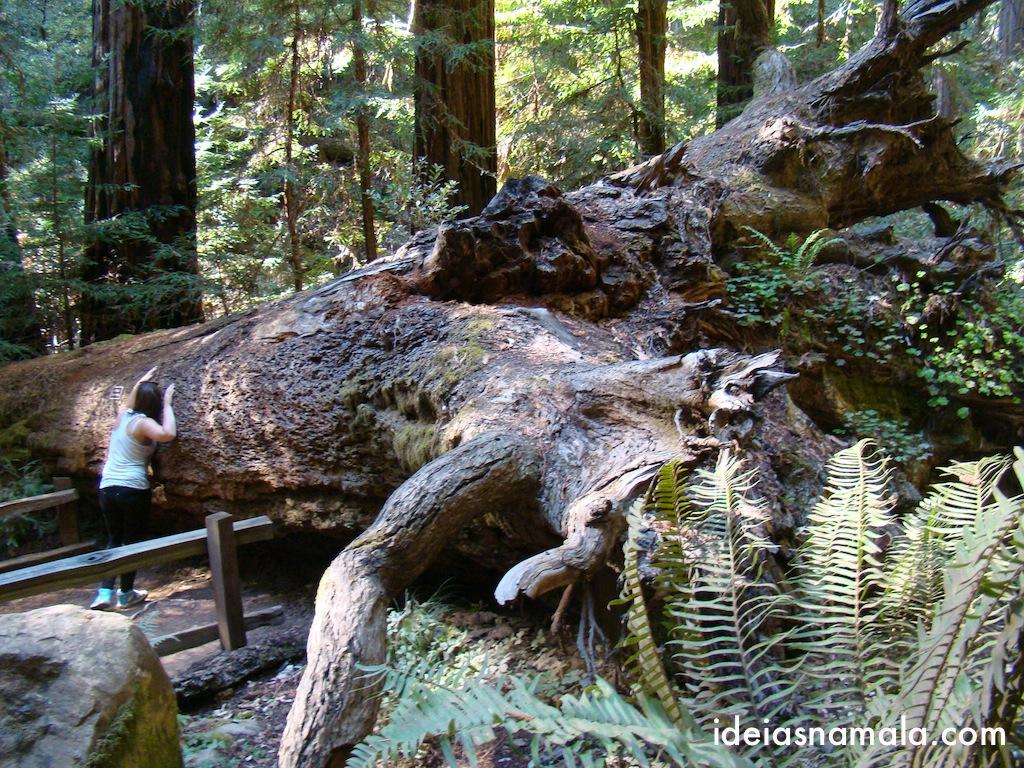 Sequóia caída em Muir Woods